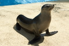 Californian sea-lion.jpg